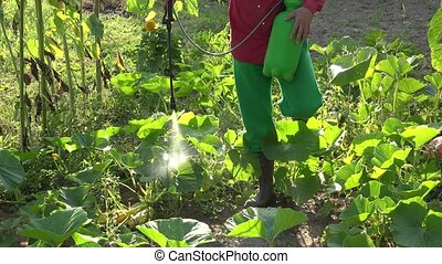 Spraying courgette vegetables in farm. Chemical plants...