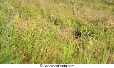 Meadow grass in steppe at the end of summer - Meadow grass...