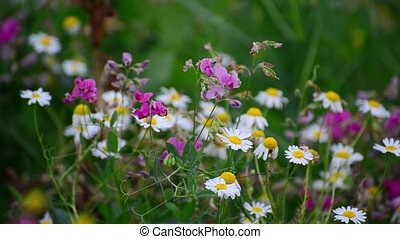 meadows with daisies and other wildflowers - The meadows...