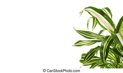 Rotating plant with copy space. Isolated on white. -...