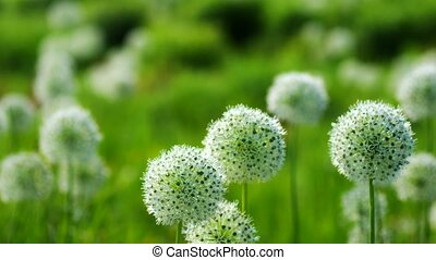 Beautiful White Allium circular globe shaped flowers blow in...