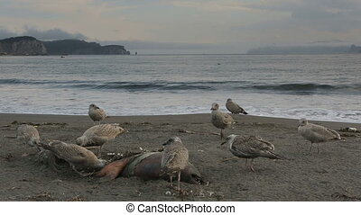 Pacific Gull eating dead seal on the beach. - Pacific Gull...