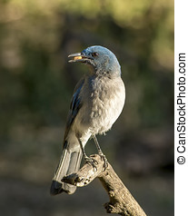 Mexican Jay - A beautiful Mexican Jay grabs a peanut from a...