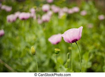 Opium poppy - Opium poppies. poppy flower. Poppy.