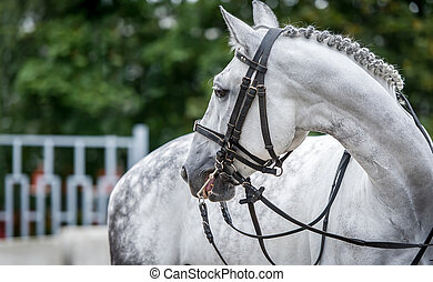 White horse close up during dressage show