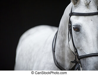 Portrait of grey horse on black background.