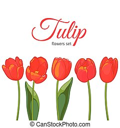 Red tulips on white background. Vector illustration