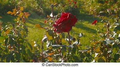 Big red rose in rosegarden. Roses in early autumn, first signs of dying of nature