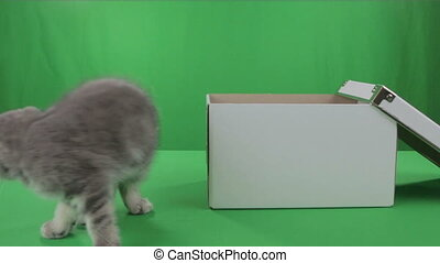 Beautiful little kitten Scottish Fold in box on Green...