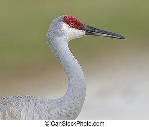 Closeup of a Sandhill Crane - Melbourne, Florida - Closeup...