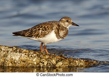Ruddy Turnstone in fall plumage - St. Petersburg, Florida