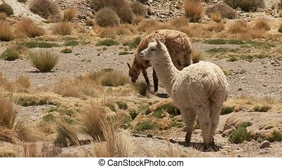 Lamas In South America Peru