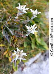 four alpine edelweis flowers on a field