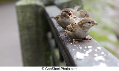 Flock of nimble sparrows jumping on the railing and eats the...