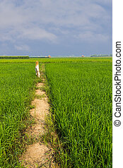 Scarecrow in green rice field with beauty sky