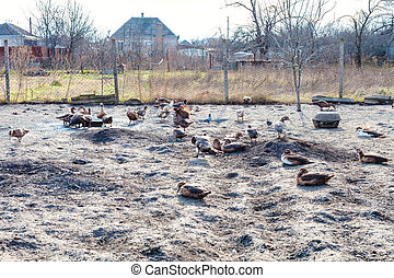 flock of ducks in backyard of country house in autumn day