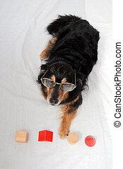 Dog IQ Test - One Old Female Black Dog Doing an IQ Test