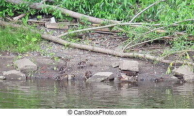 Duck with ducklings swimming. Ekaterinburg, Russia.