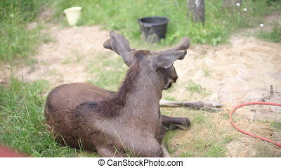European Moose, alces, bull from front view in zoo.