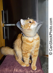 Red cat, wearing a Elizabethan collar - Red cat, wearing a...