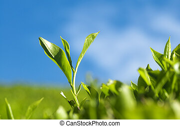 Tea Leaves. - Close up tea leaves with morning sunlight,...