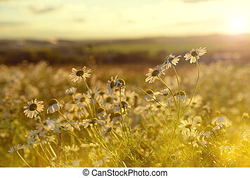 Marguerites on meadow at sunset. Spring landscape.