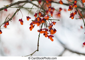 spindle or euonymus branch with fruits in winter - nature...