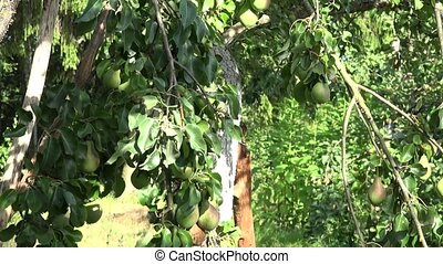 Fruiter tree branches and basket full of pear fruits under...