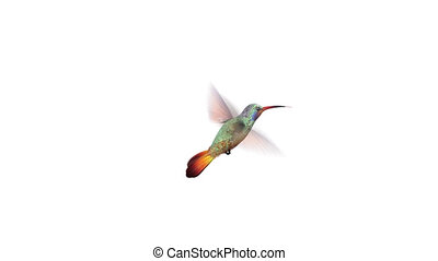 Humming bird, four 3d animations. alpha-channel is...