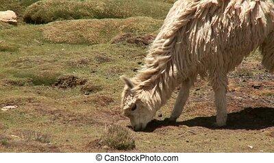 Lamas In South America Peru