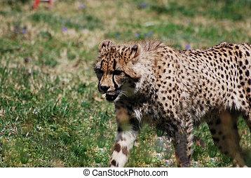 Stalking Cheetah on a Prairie