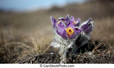 Alpine flowers in the mountains - Alpine flowers high in the...