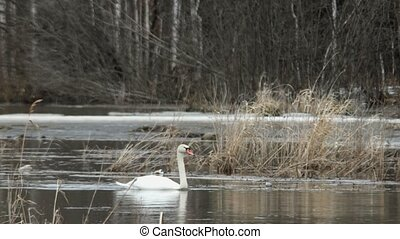 Swan on the water in early spring. Russia