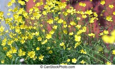 wild yellow primroses close to soft focus