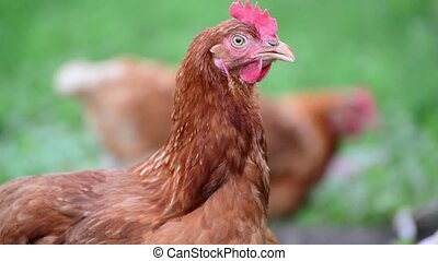 Portrait of chicken on the nature - Portrait of a...