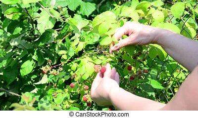 Woman reaps a crop of raspberries in garden - Woman reaps a...