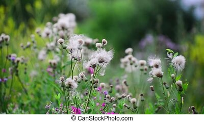 Camera movement along the meadows with pink sow thistle -...