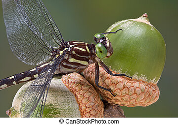 Dragonfly on acorns