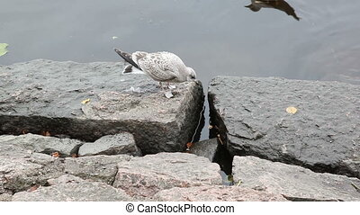 Seagull chased others from eating bread crumbs. Seacoast in...