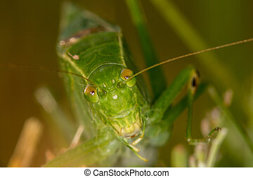 Katydid face to face - Face on view of green Katydid cricket...