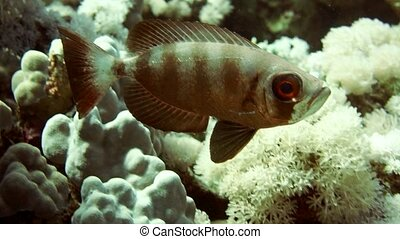 Black-tipped grouper, Epinephelus fasciatus HD