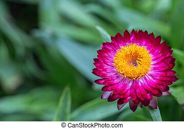 Purple Strawflower #2 - Purple strawflower with yellow...
