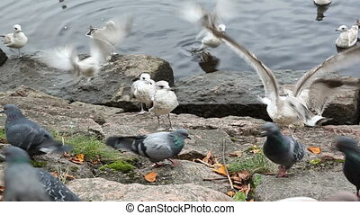 Seagulls and doves chased each others from eating bread...
