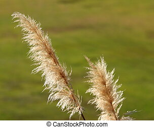 Pampas Grass - Pampas grass light up by sun shine with a...