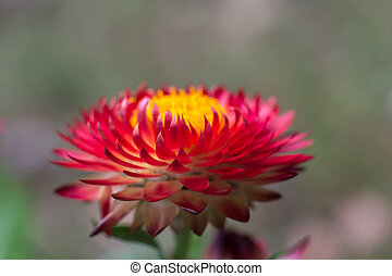 Red Strawflower #2 - Red strawflower with yellow center that...