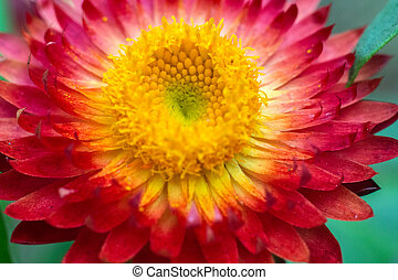 Red Strawflower #4 - Red Strawflower with yellow center and...
