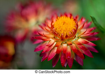 Red Strawflower #7 - Red strawflower with yellow center that...