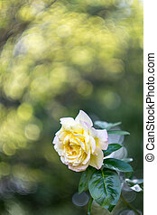 Peach Rose #1 - Peach colored rose with green leaves with...