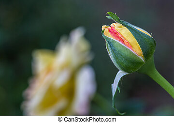 Peach Rose Bud #1 - Peach colored rose bud with green leaves...