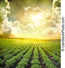 Potato field under blue sky